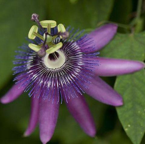 【寒さに強い南国植物】耐寒性トケイソウ 'Jeanette' (耐寒性:0℃)