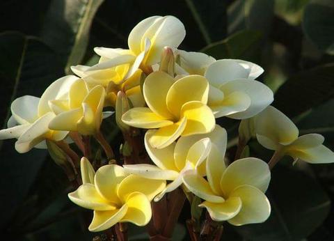 【特別SALE! 通常価格の10% OFF】3鉢限定・希少種! プルメリア 'Bali Palace Seedling' 4号鉢(越冬株)