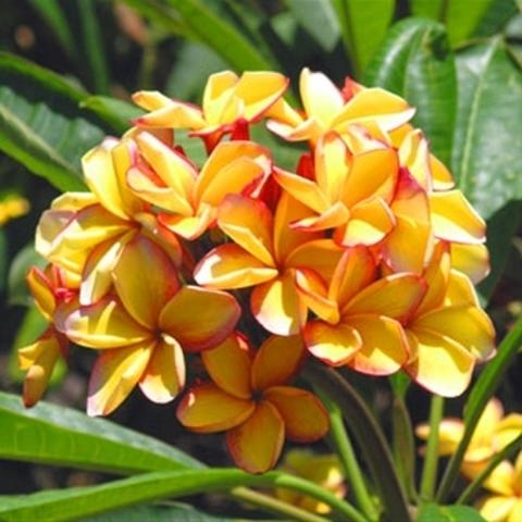 【特別SALE・通常価格の20%オフ】鮮やかで香りの良い花を咲かせる米国系プルメリア 'Embers' 5号接ぎ木苗 ●入手困難品種【1鉢限定】