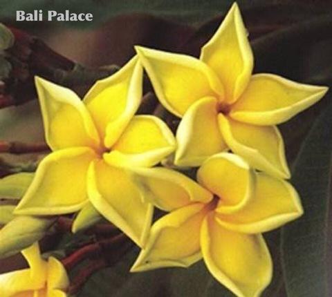 【特別SALE! 通常価格の40% OFF】希少なバリ島産の苗木! 鉢植えプルメリア 'Bali Palacel' 苗木(越冬株・4号鉢)