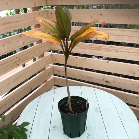 【希少種・1点モノ】ティーリーフの木 Ti Plant 'Sunset'  5号ロングスリット鉢(黄金葉品種)
