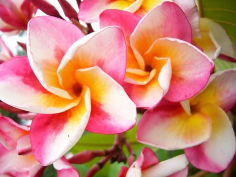 【特別SALE! 通常価格の40% OFF】鉢植えプルメリア 'Kased Silp' 接木苗(越冬株・4号鉢)