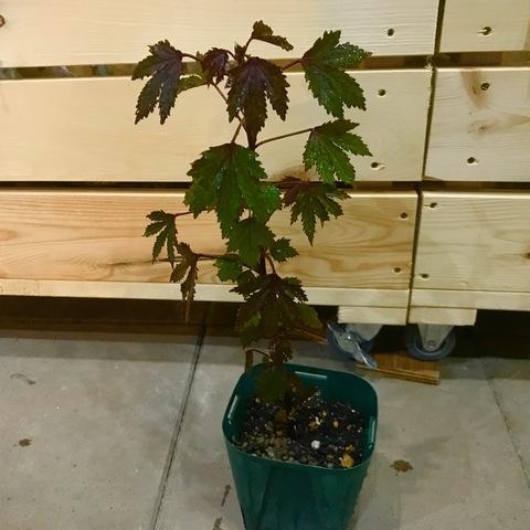 【食用にもなる赤葉品種】ハワイで栽培されているハイビスカス 'Red Leaf Hibiscus' 4号スリットポット苗