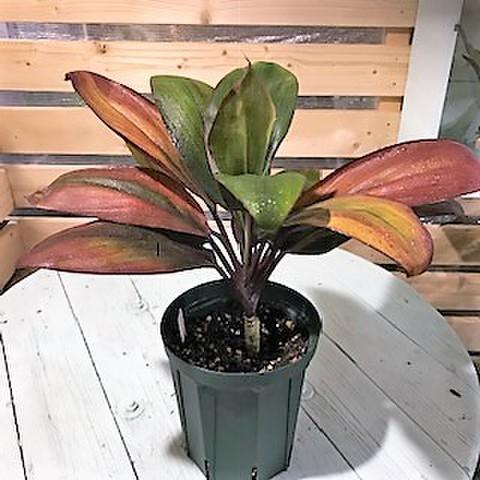 【1点モノ・希少種】ティーリーフの木 Ti Plant 'Fransis'  5号ロングスリット鉢(とても美しいオレンジ葉品種)