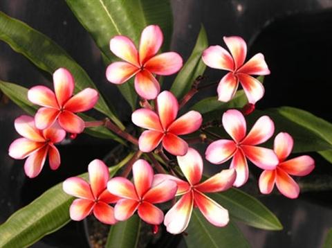 【ラスト1鉢】珍しい色彩が人気の米国系プルメリア 'Koolina' 4号鉢