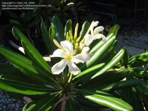 本年初リリース! 希少なジャマイカの原種系常緑品種のプルメリア 'Jamaicensis' 接ぎ木苗(接ぎ木苗は初リリースです!)