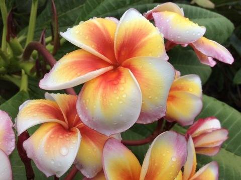 【1鉢限定】希少種の鉢植えプルメリア 'Gan Mam' 接木苗(越冬株・4号鉢)