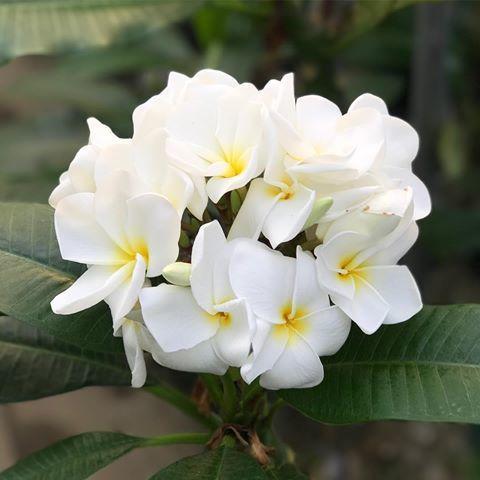 【特別SALE! 通常価格の30% OFF】鉢植えプルメリア 'White Kanchana' 接木苗(越冬株・4号鉢)