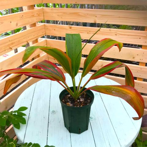 【希少種・1点モノ】ティーリーフの木 Ti Plant 'Schubertii'  5号ロングスリット鉢(レインボーリーフ品種)
