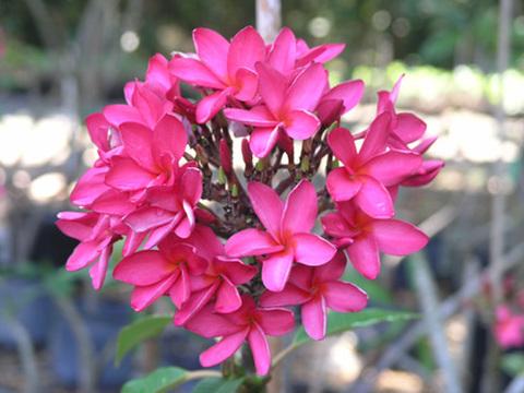 【鉢植え苗木】驚異的な花付き! フロリダの名花プルメリア 'Kahuku' (フロリダ産カット苗由来の挿し木苗)4号鉢