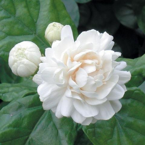 【耐寒性あり】とても香りのよいピカケジャスミン(薔薇咲き系) 3号ポット苗