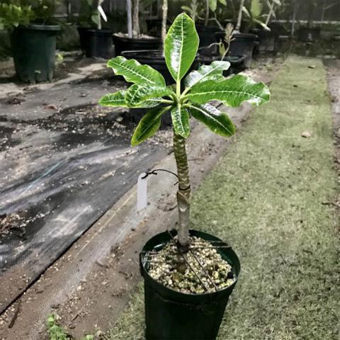 【2019初リリース品種】1鉢限定・椰子のような樹姿の希少種! プルメリア 'Dwarf Coconuts Leaf' 接木苗(4号鉢)超コンパクト品種!