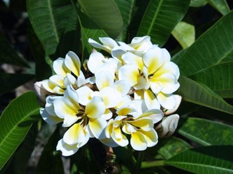 【国産カット苗】10枚花弁のバリ島生まれの名花プルメリア 'Bali Whirl' カット苗