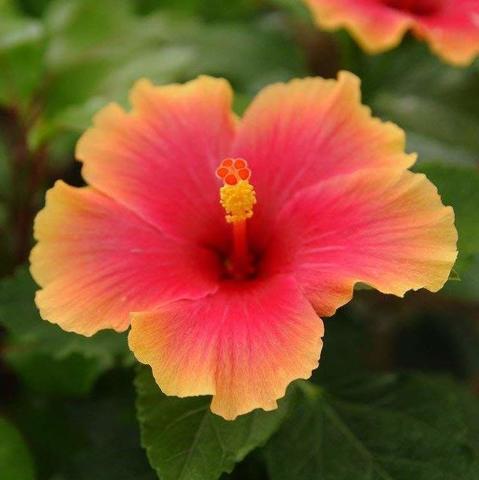 【ハワイ品種種】ハワイの原種ハイビスカス 'Mrs Yumi' 3号ポット苗