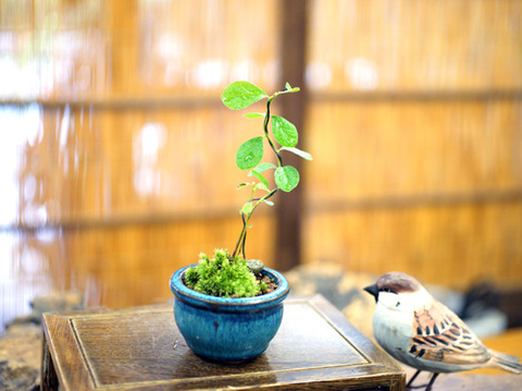 ロウヤ柿・幼木