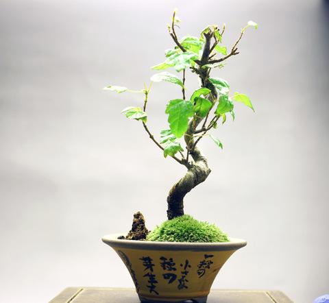 楓 【模様木】