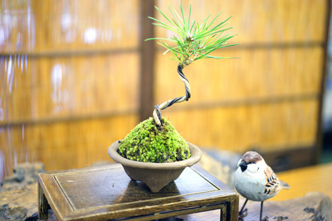三河黒松 【模様木】