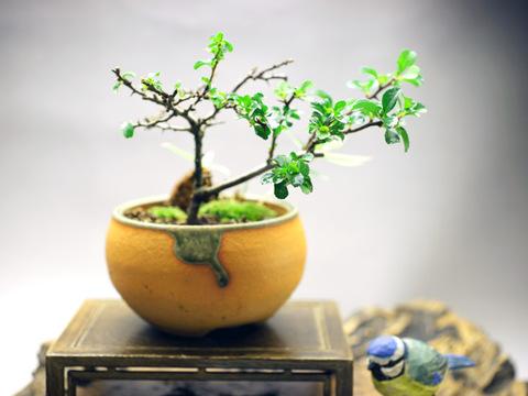 長寿梅と縞笹 【四季咲き】鉢・信楽焼き