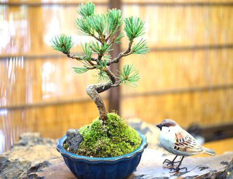 五葉松 【模様木】