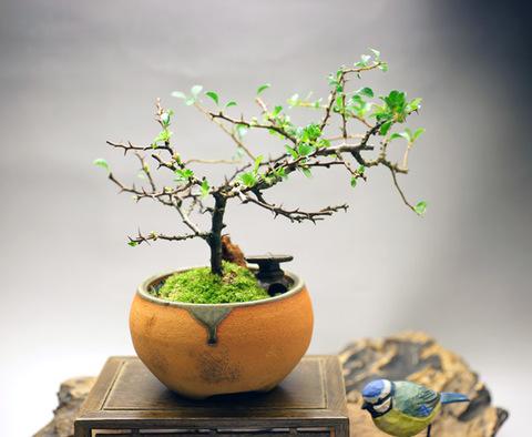 長寿梅 【四季咲き】鉢・信楽焼き・六角灯篭付き