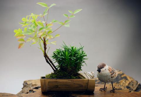 南天と白竜の寄植え 【竹鉢】