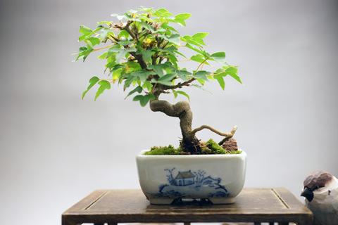 実生 楓 鉢【丸藤】