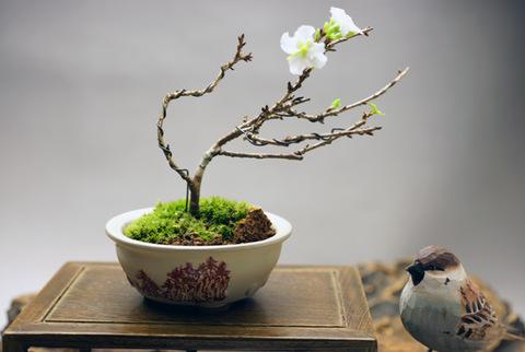 富士桜 【四季咲き】
