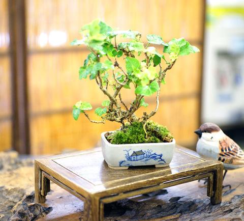木づた 【鉢・丸藤】