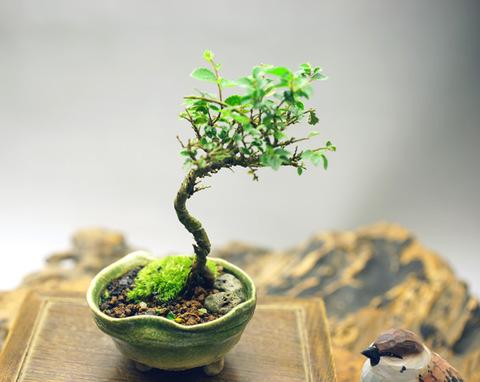 黄金ケヤキ 【鉢・手びねり】