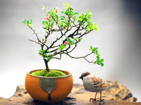 長寿梅 【四季咲き】鉢・信楽焼き
