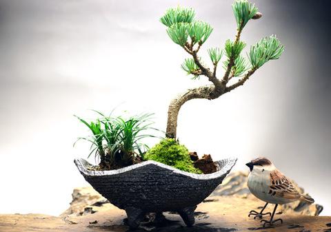 五葉松と白竜の寄せ植え