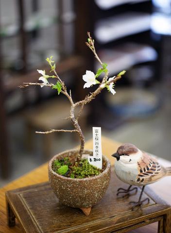 富士桜 【四季咲き】・鉢 信楽焼