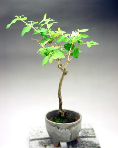 ひょうたん木