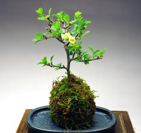 白長寿梅の苔玉【四季咲き】