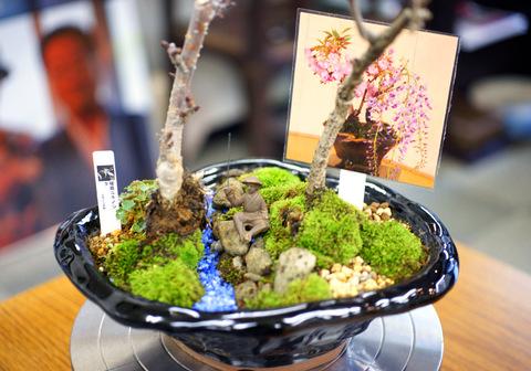 一才桜と一才藤のデコレーション盆栽