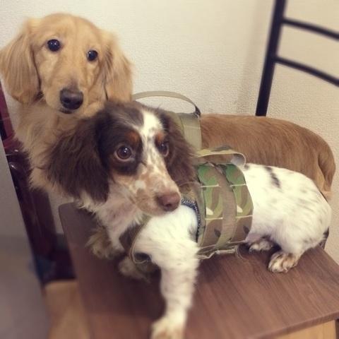 犬用プレキャリ風ハーネス(Sサイズ)