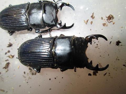 新潟産ネブトF2幼虫3令ペア
