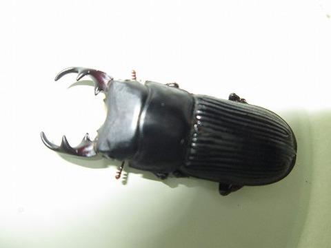 山形産ネブトF5幼虫3令ペア