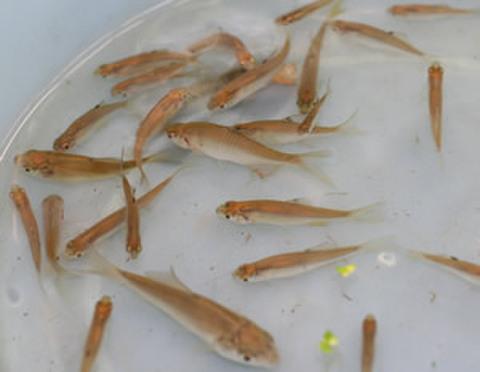 雑魚(タナゴなど) 10匹