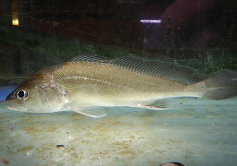 アジア淡水イシモチ