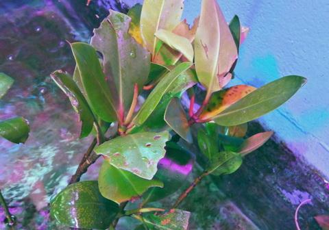 【植物】マングローブ苗