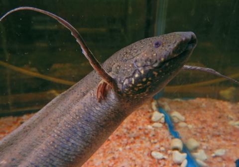 肺魚 P.アンフィビウス