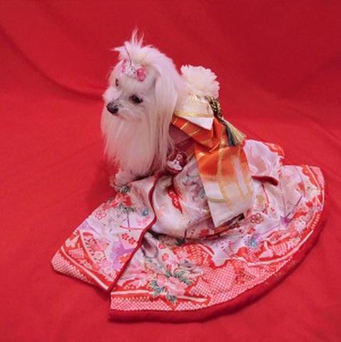 犬用お着物(正絹の着物と帯のセット)お引きずりデザイン SS~Lサイズ 30000円~          化繊 (正絹の帯付き)SS~Lサイズ 21000円~