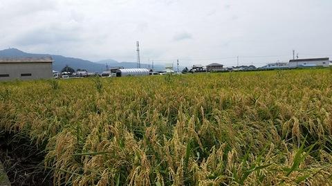 乳酸菌育ち無農薬玄米10kg