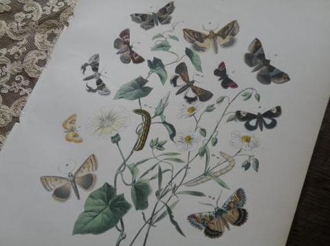 アンティーク 蛾の博物画 図鑑の紙片 1876年 W. F. Kirby