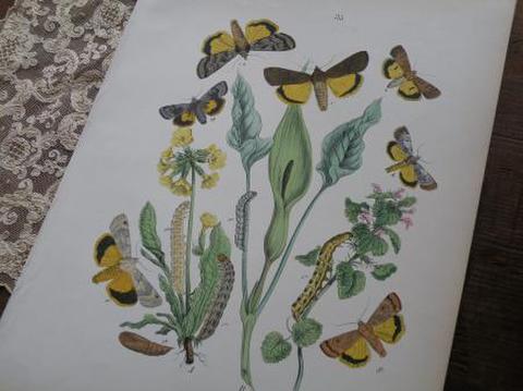 アンティーク 黄色の蛾の博物画 図鑑の紙片 1876年 W. F. Kirby
