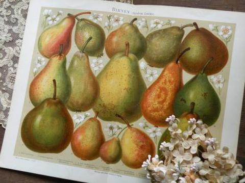 アンティーク ボタニカルアート 植物画の紙片 たわわな洋梨