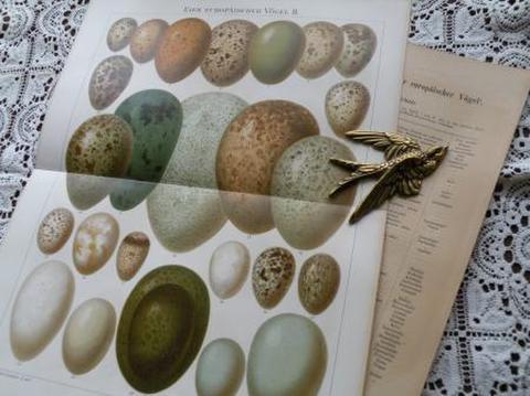 アンティーク 卵いっぱいの 博物画の紙片