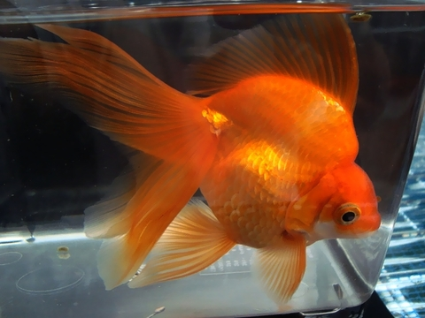 5.純国産魚で自家産!琉金(素赤1匹)(弐歳魚)