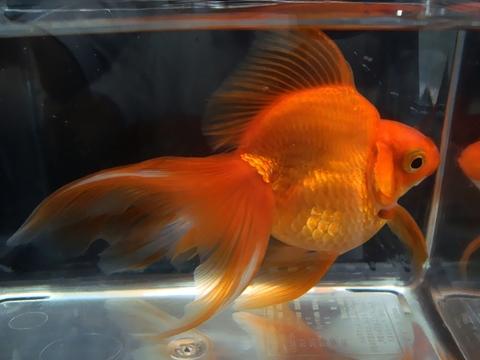 21.純国産魚で自家産!琉金(素赤1匹)(弐歳魚)